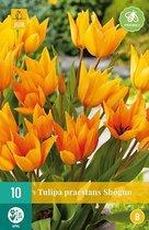 X 10 Tulipa praestans Shogun