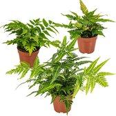 Winterharde varens | Set van 3 stuks - Buitenplant in kwekerspot ⌀11 cm - ↕30 cm