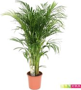 Find the perfect Areca palm for you on Bol.com
