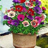 "25x Anemone coronaria ""De Caen"" - Tuinanemoon - Gemengde kleuren -  Bloembollen Mix Ø 3-4cm"