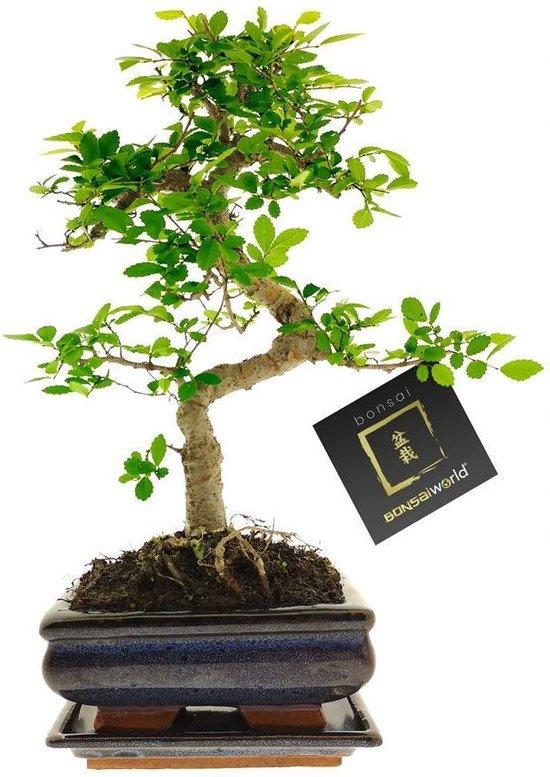Bonsaiworld Bonsai Boompje S vormig - 8 jaar oud - ↕️ 25-30 cm