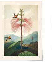 Art print 'Temple of Flora - Callandria Grandiflora' 50x70 cm.