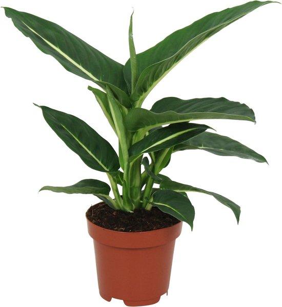 Dieffenbachia Seguine 'Green Magic' - ↑ 35-40cm - Ø 12cm