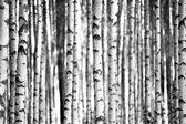 Fotobehang - Berkenbos - 390 breed x 260 hoog cm. Vliesbehang 200 grams. Banen van 150 cm breedte. Art. F009.60