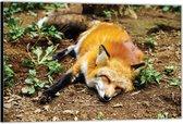 Dibond –Slapende Fox in het Bos -60x40 Foto op Aluminium (Wanddecoratie van metaal)