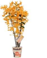 Orchidee van Botanicly – Bamboe Orchidee – Hoogte: 50 cm, 3 takken, oranje bloemen – Dendrobium nobile Firebird