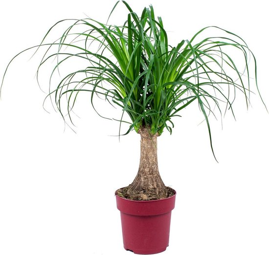 Beaucarnea 'Recurvata' | Olifantspoot per stuk - kamerplant in kwekerspot ⌀15 cm - ↕55 cm