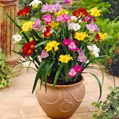 50x Freesia - Fresia's Mix - Winterharde bloembollen voor tuin en balkon - 50 bloembollen - Omtrek 4-5 cm
