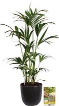 Pokon® Kentia Palm incl. watermeter en voeding - in Mica Tusca Pot Zwart - hoogte ↕125 cm