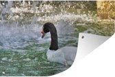 Tuinposter - Zwarthalszwaan die van de camera af zwemt - 90x60 cm