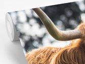 Fotobehang vinyl - Gelukkige Schotse hooglander likt haar neus breedte 450 cm x hoogte 300 cm - Foto print op behang (in 7 formaten beschikbaar)