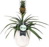 Breasy® Bromelia Ananasplant - Incl. witte keramieke pot - ↑ 38 CM - Pot Ø 12 CM