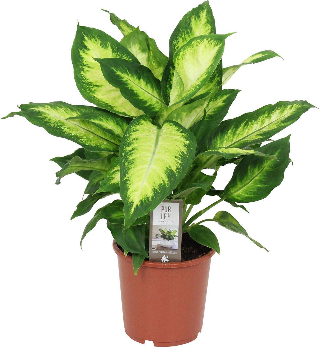 Dieffenbachia Seguine 'Camilla' - ↑ 45-50cm - Ø 17cm