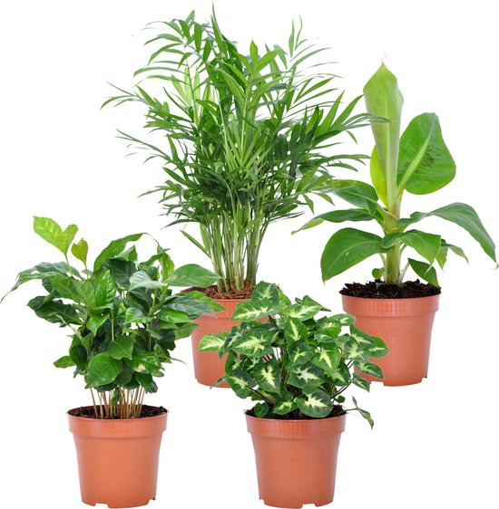 Mix van 4 tropische kamerplanten | Musa - Coffea - Syngonium - Chamaedorea |↑ 25-30cm - Ø 12cm