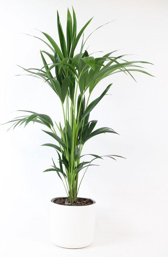Howea Forsteriana - Kentiapalm - Inclusief ELHO Pot Soft in Wit- ↑ 90-100cm - Ø 21cm