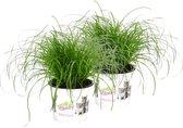 Cyperus alternifolius 'Zumula' - Kattengras - Groene kamerplant - ↕20-25cm - Ø12cm