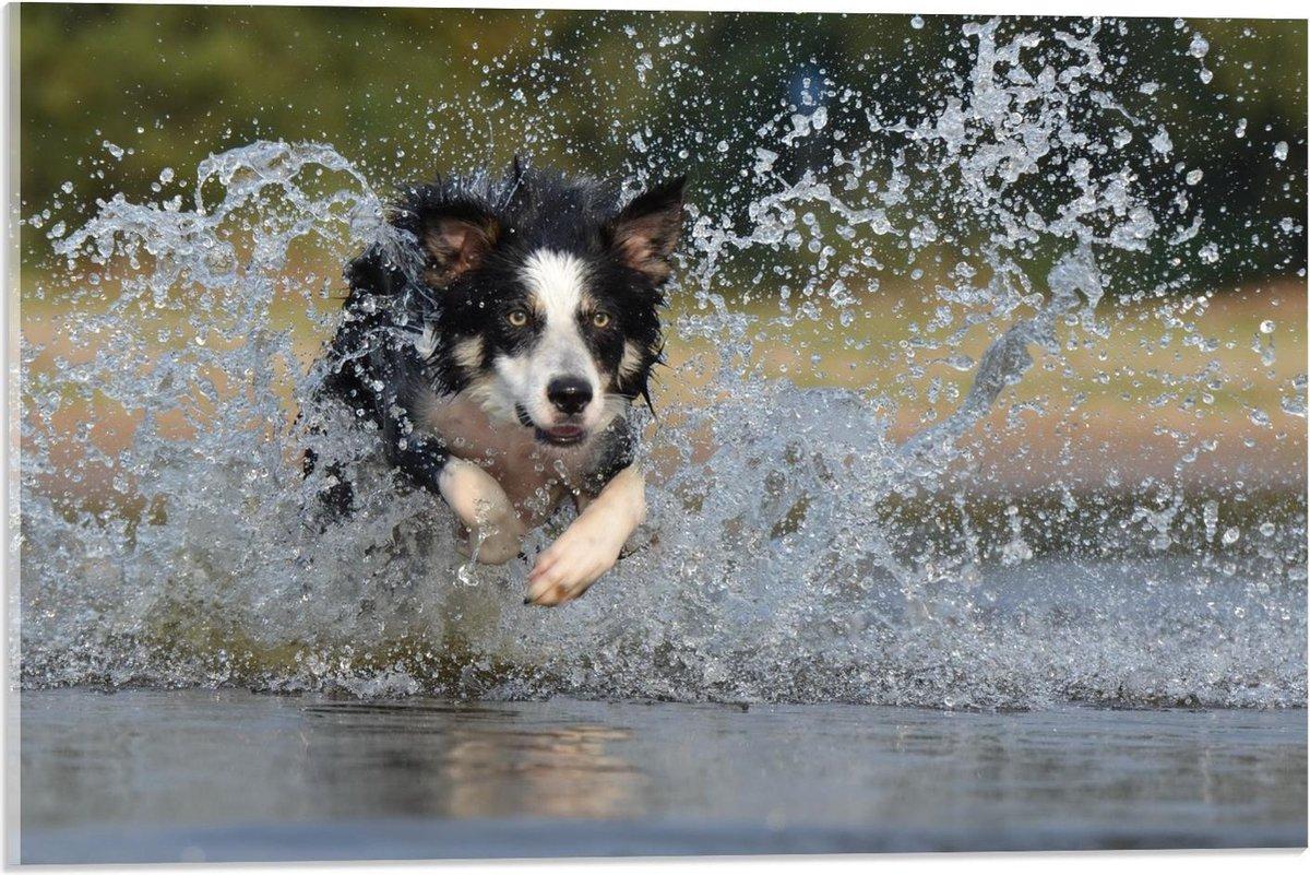 Plexiglas - Hond Springend in Water - 60x40cm Foto op Plexiglas (Met Ophangsysteem)