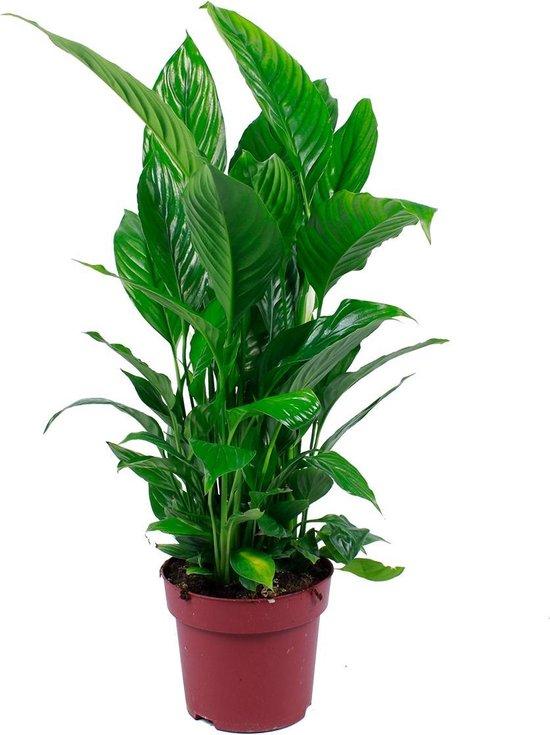 Lepelplant | Spathiphyllum 'Strauss' per stuk - Kamerplant in kwekerspot ⌀17 cm - ↕65 cm