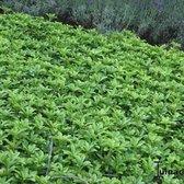 12 Stuks Pachysandra terminalis - Schaduwkruid - pot 9x9cm