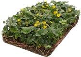 Covergreen kant-en-klare plantenmat Goudaardbei (Waldsteinia)