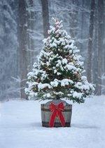 Kerstboom - Picea glauca 'Conica'; Totale hoogte 60-80cm incl. Ø 19cm pot
