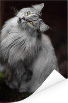 Wit met grijze Maine Coon kat Poster 60x90 cm - Foto print op Poster (wanddecoratie woonkamer / slaapkamer) / Huisdieren Poster