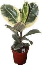 Find the perfect Ficus Elastica for you on Bol.com