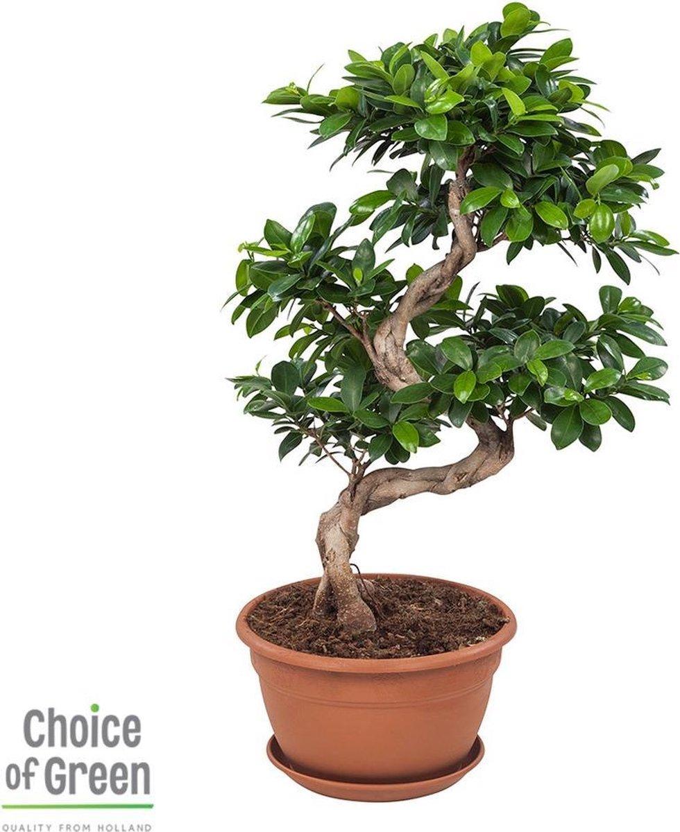 Bol Com Rubberboom Ficus Gin Seng Bonsai 70cm Hoog