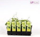 Humulus lupulus 30+ cm incl pot 2Ltr. - Hop Bierplant