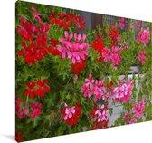 Geranium bloemen in de tuin Canvas 140x90 cm - Foto print op Canvas schilderij (Wanddecoratie woonkamer / slaapkamer)