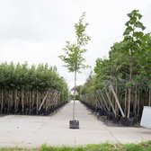 Amerikaanse Eik - 'Quercus rubra' 200 - 300 cm totaalhoogte (6 - 10 cm stamomtrek)