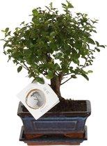ZynesFlora | Bonsai in Keramiek -  Kamerplant in pot - Ø 15 cm - ↕ Hoogte: 25-30 cm – Bonsai - Blauw/Wit