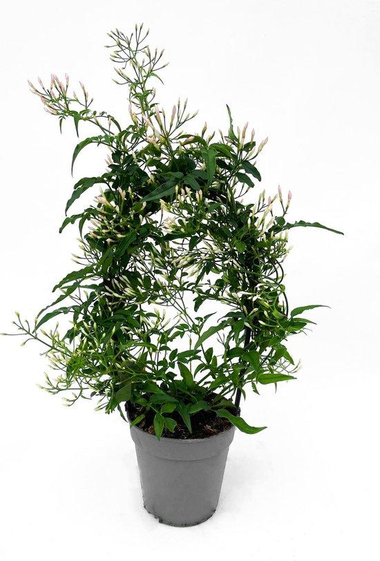 Jasmijn boog ruikt heerlijk! ⌀ 12 cm - ↕ ca. 45 cm (Kamerplant, Buitenplant, Urban jungle)