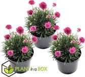 Plant in a Box - Set van 3 Armeria armata Pink - Engels gras - Pot ⌀12 cm - Hoogte ↕ 20-30cm