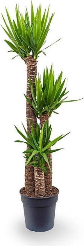 Palmlelie Yucca toef XL