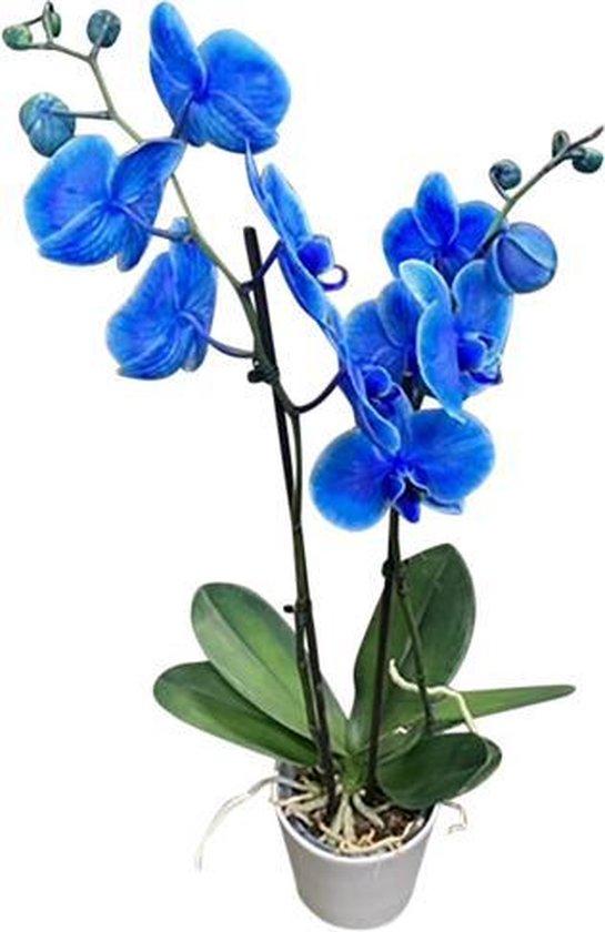 Phalaenopsis orchidee plant blauw in keramiek pot