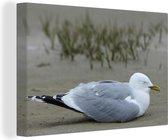 Stormmeeuw rust uit op het strand Canvas 60x40 cm - Foto print op Canvas schilderij (Wanddecoratie woonkamer / slaapkamer)