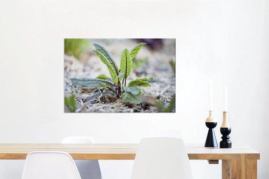 Close up van bloeiende zuring in een moestuintje Canvas 60x40 cm - Foto print op Canvas schilderij (Wanddecoratie woonkamer / slaapkamer)