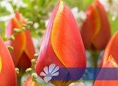25 Tulpenbollen Dafeng - Bloembollen - Tulpen - Bollen - Bulbs - Tulip - Flowerbulbs - Flowers - Tuin tulpen - Bloemen