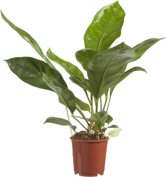 Choice of Green - Anthurium Jungle King - Flamingoplant - luchtzuiverende kamerplant in Kwekerspot ⌀14 cm - Hoogte ↕60 cm