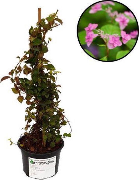 Hydrangea anomala glabra 'Crug Coral' zacht roze klim hortensia, pot gekweekt in 2 liter pot, voor tuin terras of balkon.