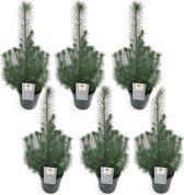 6 stuks - Kerstboompje - Pinus Pinea 'Silver Crest'  in pot Ø10,5cm - ↕34cm