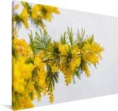 Gele mimosa plant Canvas 30x20 cm - klein - Foto print op Canvas schilderij (Wanddecoratie woonkamer / slaapkamer)
