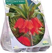 Fritillaria Imperialis Rubra - 1 x 3 stuks