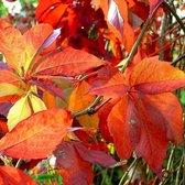 Parthenocissus Engelmanni (Wilde Wingerd) - Klimplant | rood bladerig in de herfst