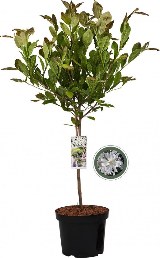 Magnolia Stellata op stam - 85 cm