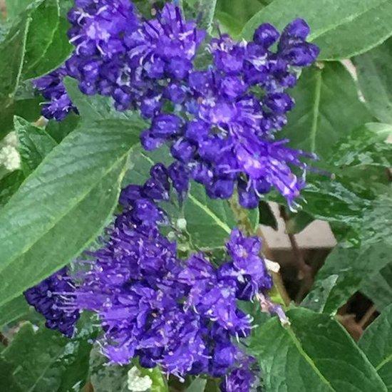 Caryopteris Clandonensis 'Heavenly Blue' - Blauwe spirea 25-30 cm in pot