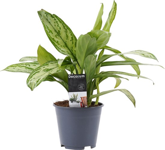 Aglaonema 'Silver Queen' - Chinese Evergreen - Makkelijke kamerplant ↑ 25-30cm - Ø 12cm