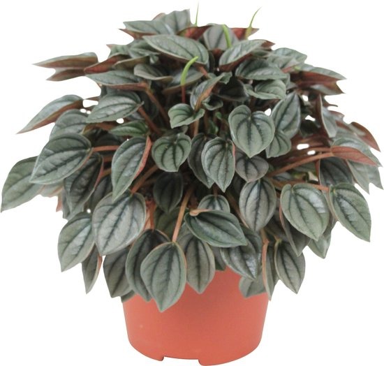 Bol Com Peperomia Napoli Light Peperplantje Vetplant 15 20cm O 12cm