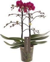 Optimost Paars Orchidee Cadeau